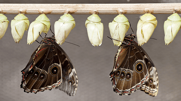 Butterfly-chrysalis